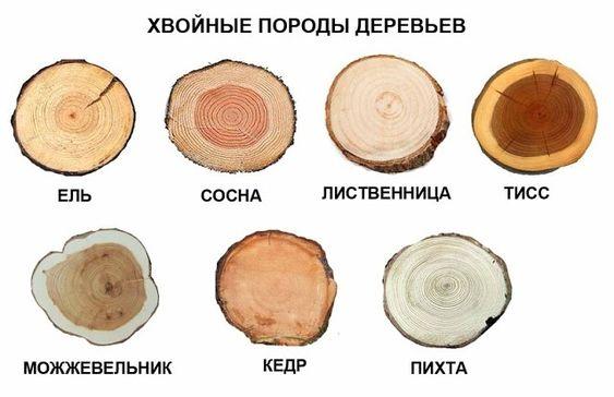Фото круглых спилов хвойных пород деревьев